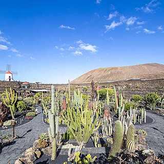 Wunderschöne Kakteenlandschaft auf der Vulkaninsel Lanzarote